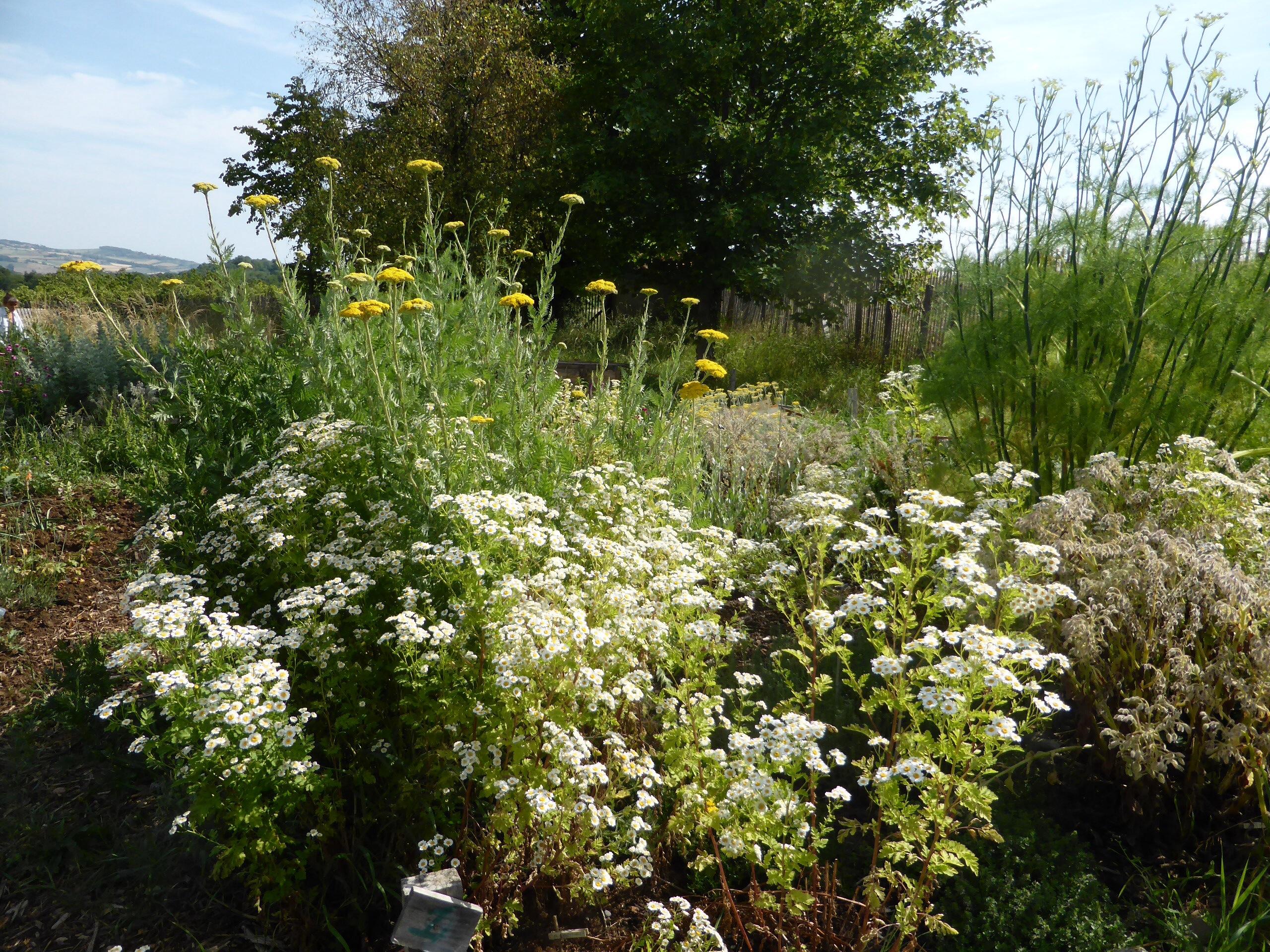 Eté 2014 - Jardin des aromates en fleurs - Par Violaine