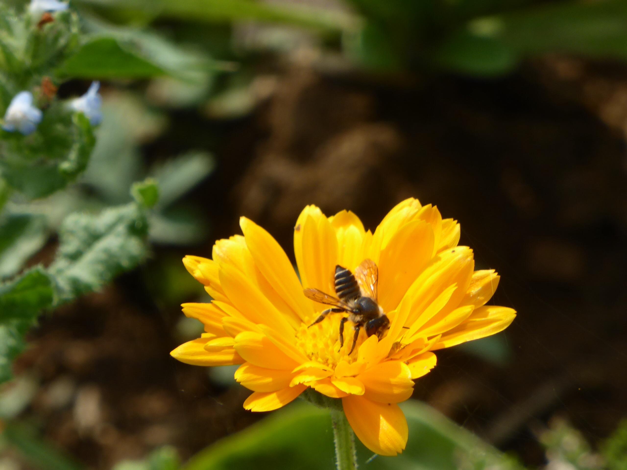 Eté 2014 - L'abeille et son soucis - Par Violaine