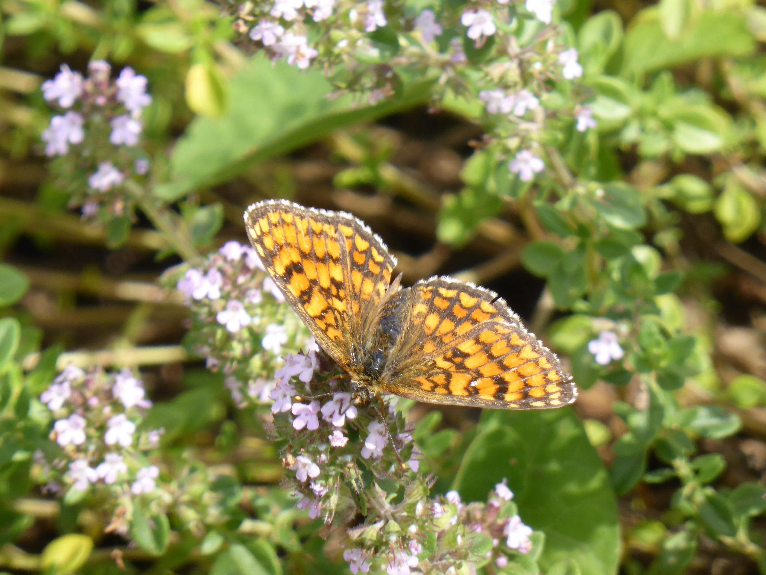 Eté 2014 - Papillon sur fleur d'origan ou marjolaine - Par Violaine